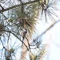 Photos: 松の木に止まるエナガ