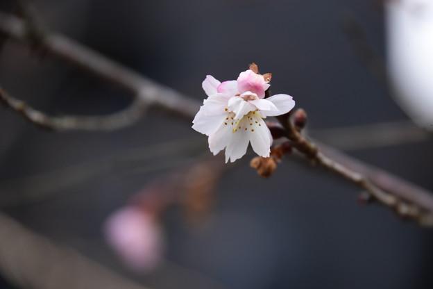 廬山寺の十月桜(ジュウガツザクラ)