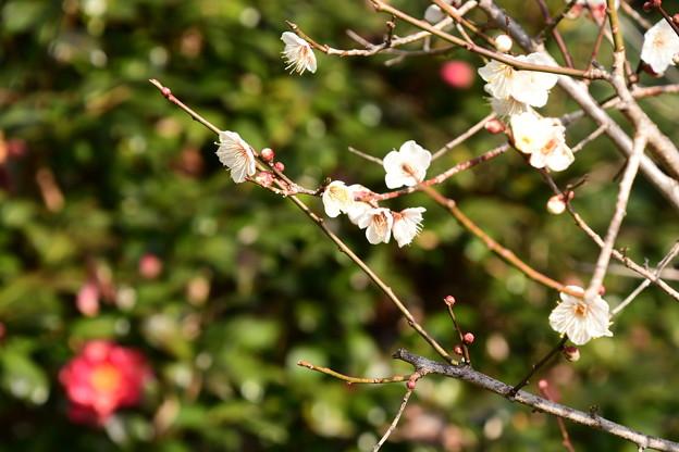 山茶花の前の白梅