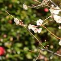 Photos: 山茶花の前の白梅