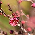 Photos: 上御霊神社の紅梅