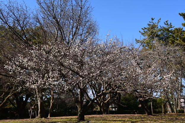 Photos: 出水の小川脇の白梅