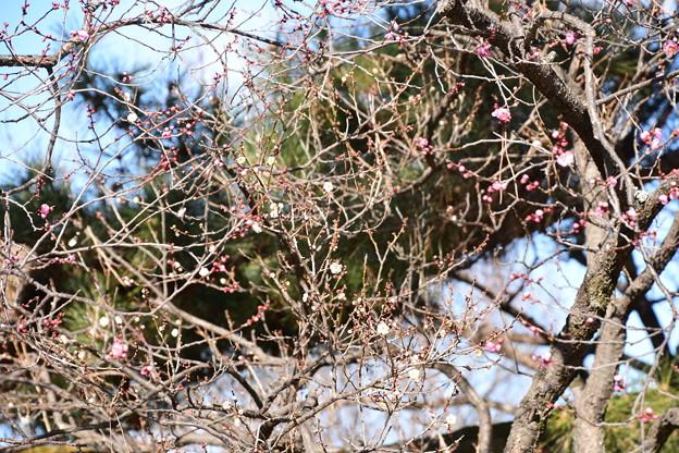 Photos: 紅白の梅