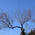 Photos: 八重寒紅(ヤエカンコウ)