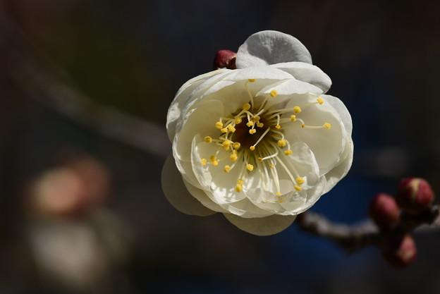 Photos: 玉牡丹(ギョクボタン)