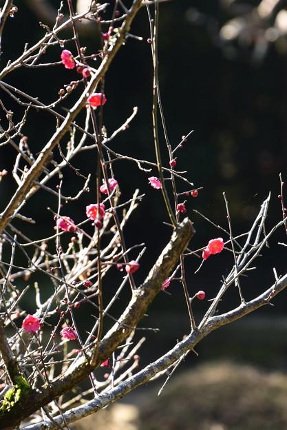 蒼龍池の紅梅