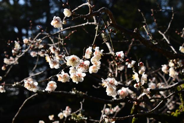 蒼龍池の白梅
