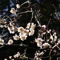 Photos: 蒼龍池の白梅