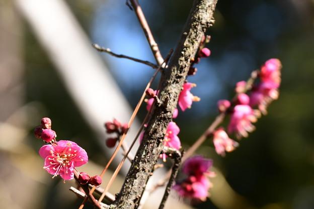 南神苑の紅梅