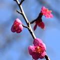 Photos: 南神苑の紅梅