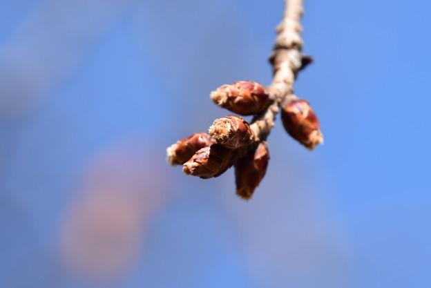 膨らみ始めた山桜の蕾