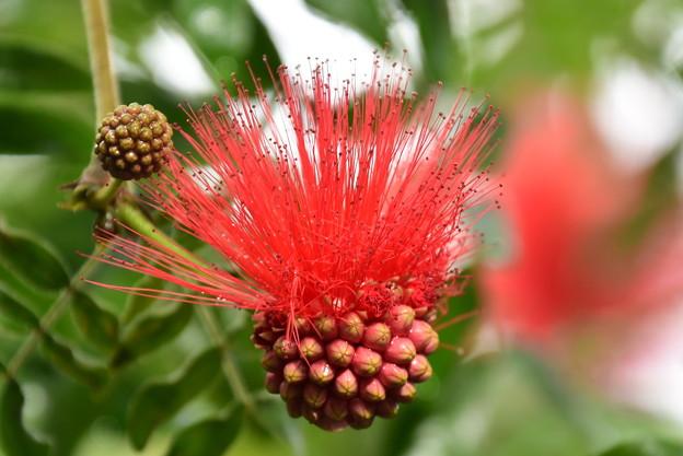 咲き始めの大紅合歓(オオベニゴウカン)