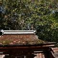 Photos: 宗像神社の薮椿