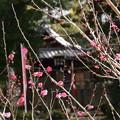 白雲神社前の紅梅