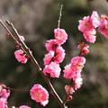 Photos: 八重紅梅