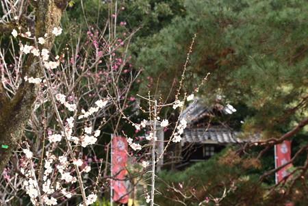 白雲神社前の白梅