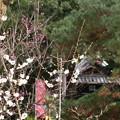 Photos: 白雲神社前の白梅