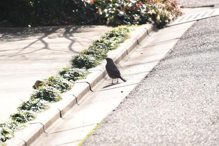 近所にやって来た磯鵯(イソヒヨドリ)♀
