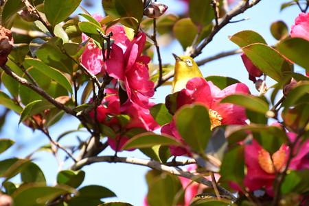 山茶花と目白(メジロ)