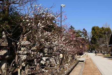 参道脇の梅