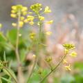 咲き始めた菜の花