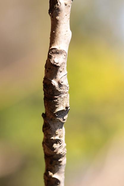 クイズ:何の枝でしょう?