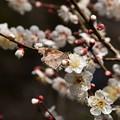 白梅に泊まるテングチョウ