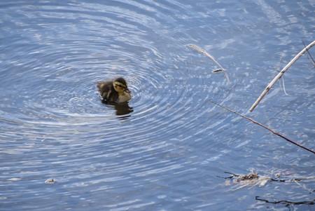 鴨の赤ちゃん