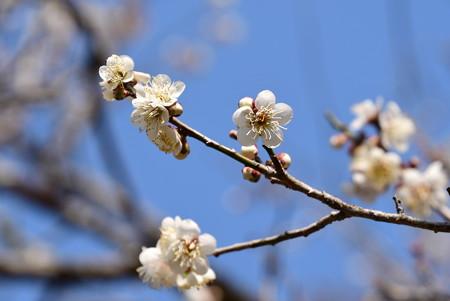 白加賀(シラカガ)