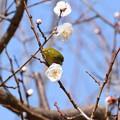 Photos: 白梅に目白(メジロ)