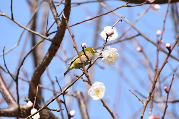 Photos: 白梅にやって来た目白(メジロ)