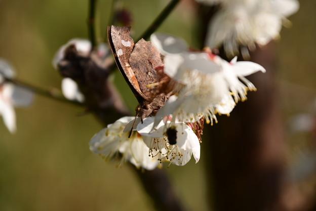 白梅に止まるテングチョウ