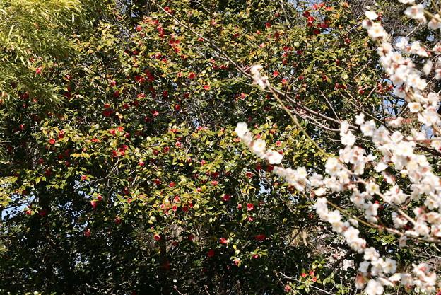 白梅と薮椿咲く宗像神社