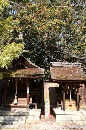 宗像神社の薮椿(ヤブツバキ)