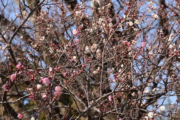 Photos: 紅白咲き分けの梅