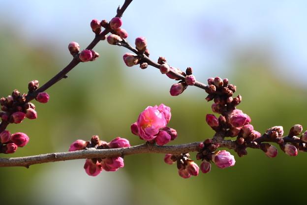 咲き始めた黒木の梅