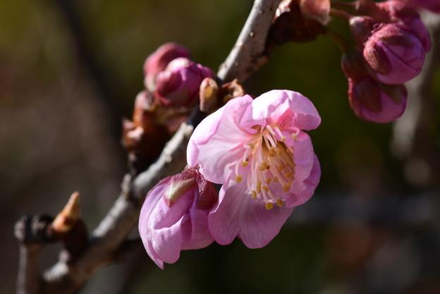 咲き始めた椿寒桜(ツバキカンザクラ)