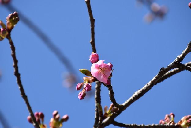 咲き始めた河津桜(カワヅザクラ)