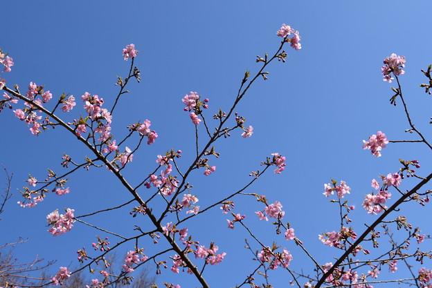 蓮池東側の河津桜(カワヅザクラ)