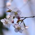 Photos: 近畿豆桜(キンキマメザクラ)