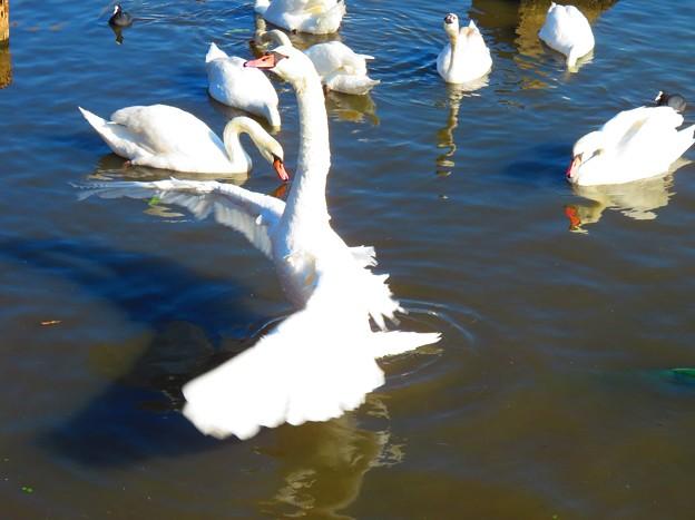 白鳥 027