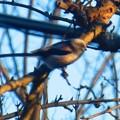 Photos: 小鳥 031 (310x232)