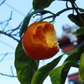 Photos: ミカン 025 (310x232)