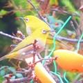 小鳥 006 (310x232)