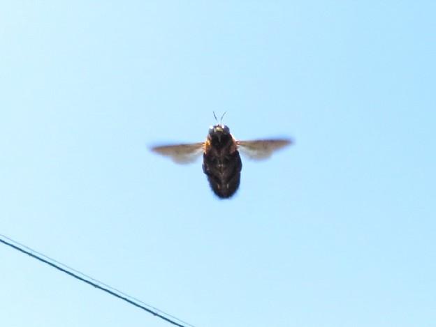 クマバチ飛翔_1497