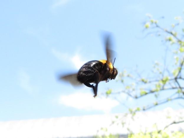 クマバチ飛翔_1506