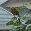 台風の暴風雨_4231