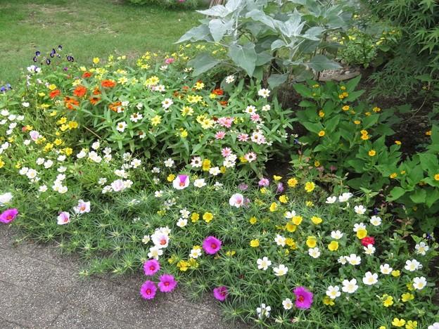 花壇の花(庭)_5444