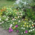 写真: 花壇の花(庭)_5444