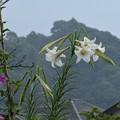 写真: タカサゴユリ開花_5651